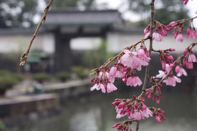 Puzzling Tokyo in the Sakura season