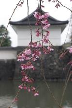 Sakura around the Tokyo Palace