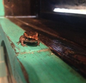 tandakayou grenouille